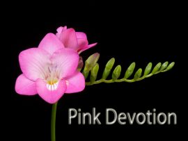 pink-devotion