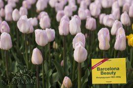 тюльпан barcelona beauty