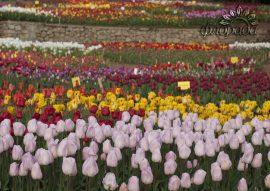 Поле тюльпанов тюльпаны