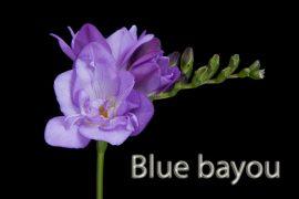 blue-bayou