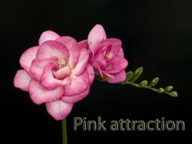pink-attraction